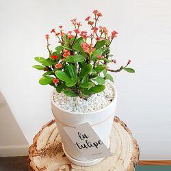 꽃기린 다육식물 중형 화이트화분세트