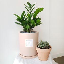 금전수 중형 살구화분세트 공기정화식물 개업화분