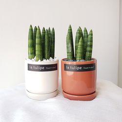 귀여운 공기정화식물 몽당스투키 화분