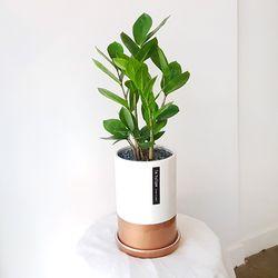 금전수 중형 골드화이트 화분세트 공기정화식물 개업화분