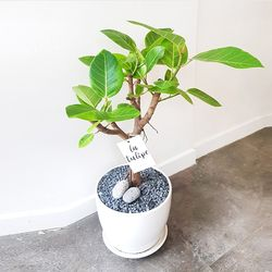 뱅갈고무나무 공기정화식물 화이트화분 중형 (퀵비별도)