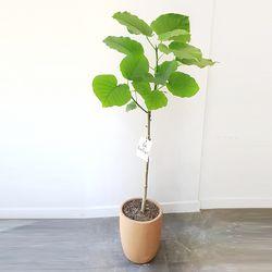 휘커스 움베르타 공기정화식물 토분세트 중형 (퀵비별도)