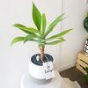 아가베 아테누아타 공기정화식물 테라스톤화분 대형 (퀵비별도)