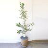 공기정화식물 올리브나무 대형 토분 (퀵비별도)