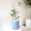 블루베리나무 스카이화분세트 중형 (퀵비별도)
