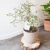 뮤렌베키아 중형 토분 감성적인 공기정화식물