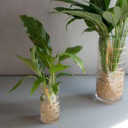 수경 식물 스파티필름 공기정화식물 세트 (S)