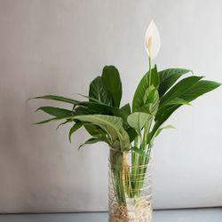 수경 식물 스파티필름 공기정화식물 세트 (L)