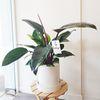 공기정화식물 콩고나무 화이트화분 중형 (퀵비별도)
