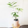 공기정화식물 세련된 공작야자 화분 중형 (퀵비별도)