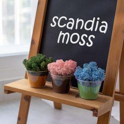 (6컬러) 컵 스칸디아모스 모스 이끼 공기정화식물