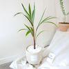 공기정화식물 샴페인야자 주병야자 중형화분