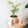 공기정화식물 폴리시아스 이태리토분