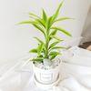 공기정화식물 산데리아 화이트화분