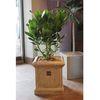싱그러운 라임빛 잎사귀의 공기정화식물 크루시아