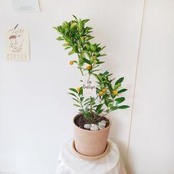 실내에서 잘 자라는 유주나무 토분(서울경기만가능)