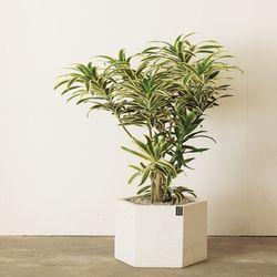 [개업승진취임화분]고급스럽고 세련된 잎을 가진 송오브인디아