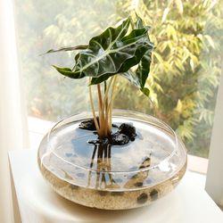실내공기정화 유리수반 마리모 백운산 키우기-식물:2종 중 택1