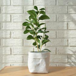 베리타스 크루시아 미니조화나무-실내인테리어플랜테리어