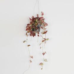 공기정화 가랜드 행잉식물 호야썬라이즈