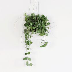 공기정화 가랜드 행잉식물 아몬드페페