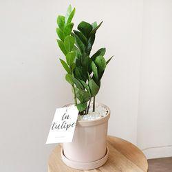 개업선물 돈나무 금전수 도기화분 40cm