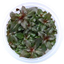 무균 조직 배양수초 - 루드위지아 페레니스