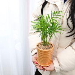 미니 소형 테이블야자 공기정화식물 미세먼지 정화 식물