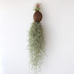 퐁퐁 수염 이오난사(중) 틸란드시아 공기정화 먼지먹는 식물