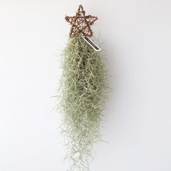 별 수염 틸란(중) 틸란드시아 공기정화 먼지먹는 식물