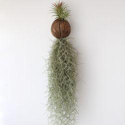 퐁퐁 수염 이오난사(대) 틸란드시아 공기정화 먼지먹는 식물