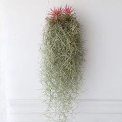그네 수염 이오난사(특대) 틸란드시아 공기정화 먼지먹는 식물