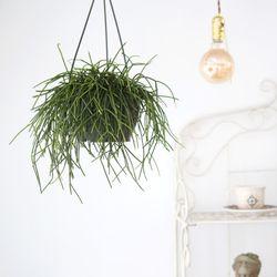 행잉 립살리스 화이트 대형 공기정화식물 행잉플랜트