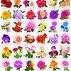 1000조각 직소퍼즐 - 장미 컬렉션 (EU6000-0593)