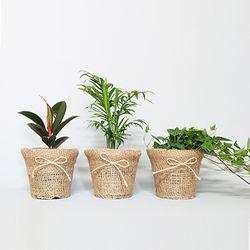 썸머헴프-공기정화식물