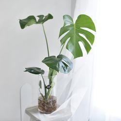몬스테라 생화 수경식물 그린 인테리어 화병세트