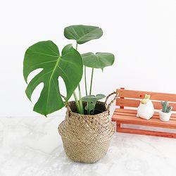 [화분받침드림] 몬스테라 화분+해초 바구니 세트