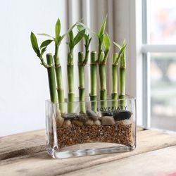 미니사각유리에 담긴 개운죽 수경식물 천연가습기화분