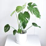 몬스테라 거실 인테리어 공기정화 식물 화분