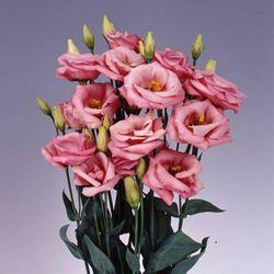 리시안셔스 씨앗 - 겹꽃 (10립)