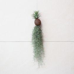 코코넛- 이오난사 + 수염 틸란드시아