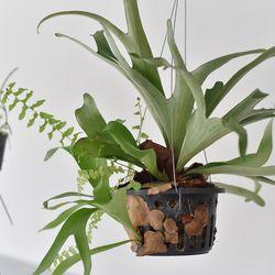 박쥐란 행잉플랜트 (초대형) 인테리어 공기정화식물 플랜테리어