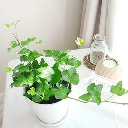 실내공기정화식물 화분세트 기획전-아이비 (브라운원형화분)