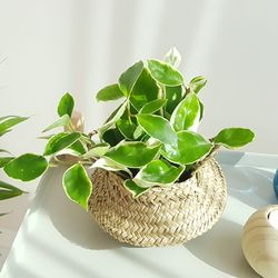 실내공기정화식물 화분세트 기획전 (미니해초바구니)