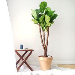 실내 공기정화식물 떡갈고무나무 (토분)(서울퀵)