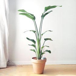 실내 공기정화식물 극락조 (기본포트)(서울퀵)
