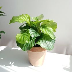 공기정화식물 칼라데아 오르비폴리아 토분세트