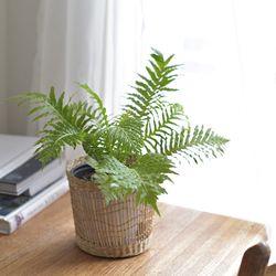 실버레이디 고사리 식물 왕골 바구니 식물 세트