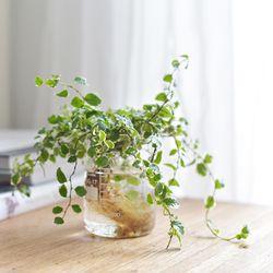 수경식물 푸밀라 비커 세트