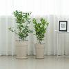 중형 유주나무 독일토분(파슬화이트)